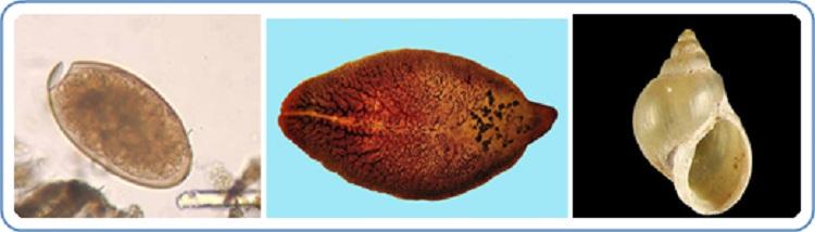 parazita fasciola