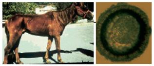 lovas lárva parazita a parazita tripanoszómáról