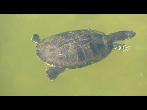 A teknősöm vizében kis férgek jelentek meg - Terrárium - rgmania.hu