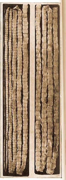 Szarvasmarha galandféreg a hasnyálmirigyben