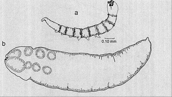 orvosság a fejben lévő paraziták ellen
