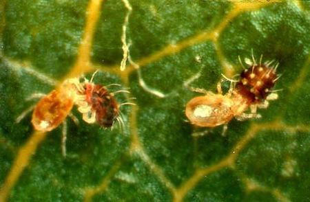 paraziták a tuján nincsenek olyan kerekférgek