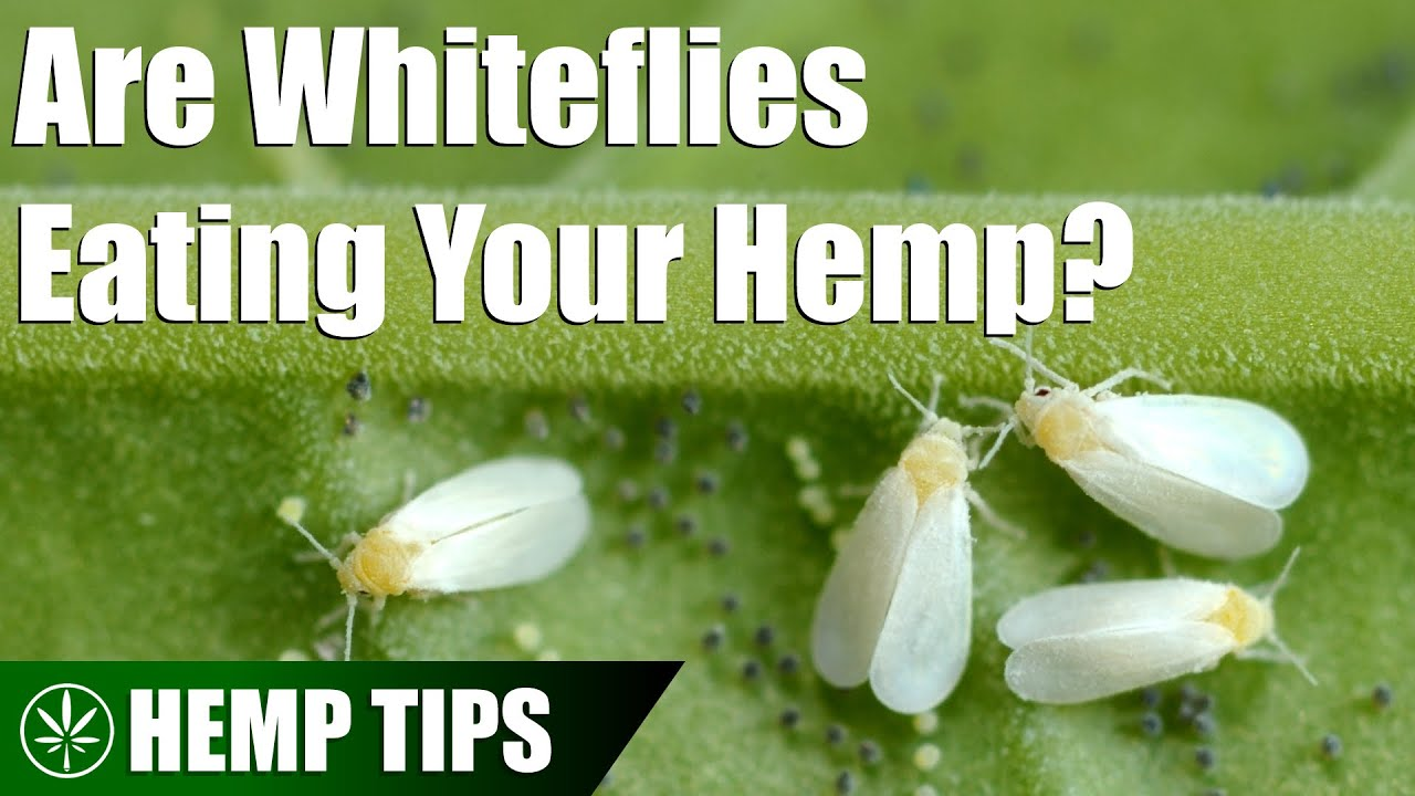 ne hozzon pinwormokat a gyógyszer rossz lehelet