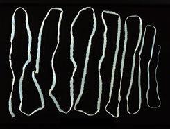 navaga és paraziták