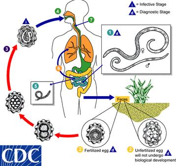 antitestek az ascaris helix ellen parazita rendszer parazita erő