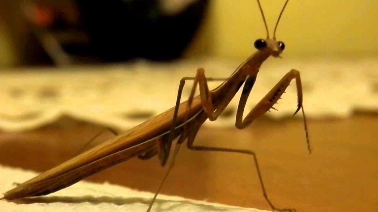 milyen paraziták élnek az imádkozó sáskában