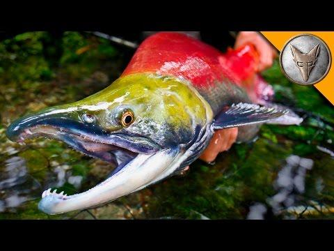 Milyen halak vannak opisthorchiasis?