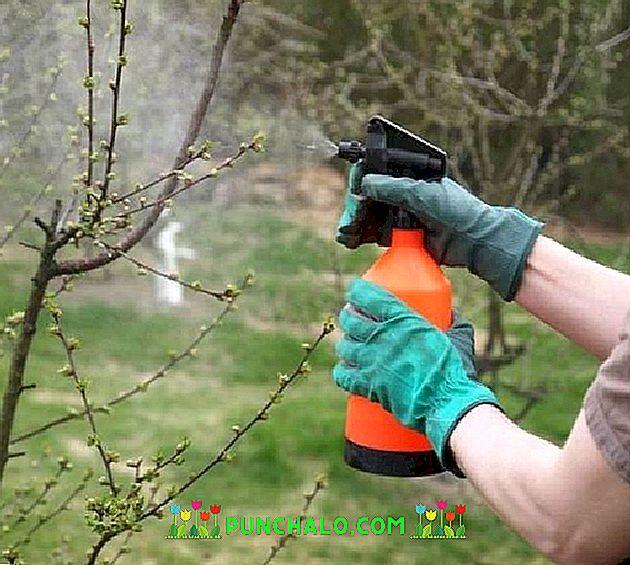 Cseresznye - és meggyfák korai pusztulása