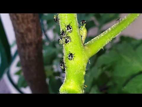 puffadó paraziták