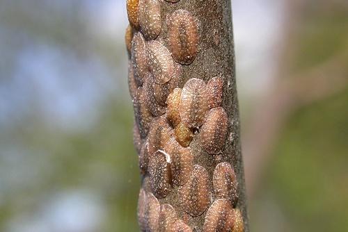 paraziták a begónián