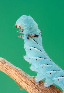 epehólyag parazita