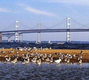 Chesapeake- öbölben élősködők