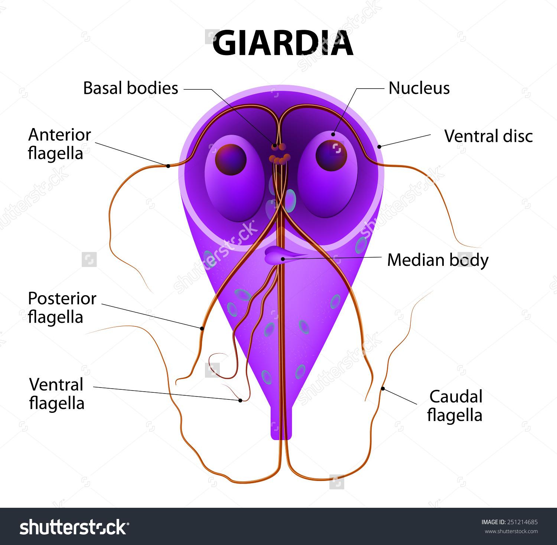 hogyan kell kezelni a giardia parazitákat