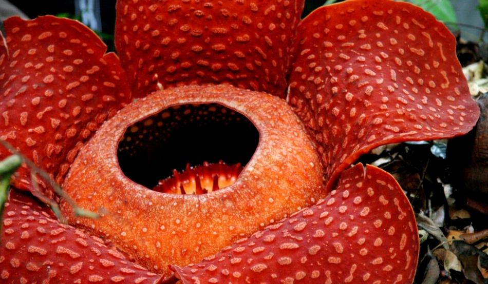 Kinyílt a világ legnagyobb virágja | hu
