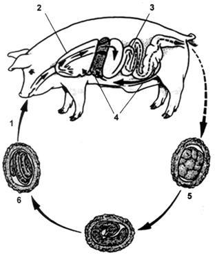 antitestek az ascaris helix ellen paraziták gyógyítása parazitológusok