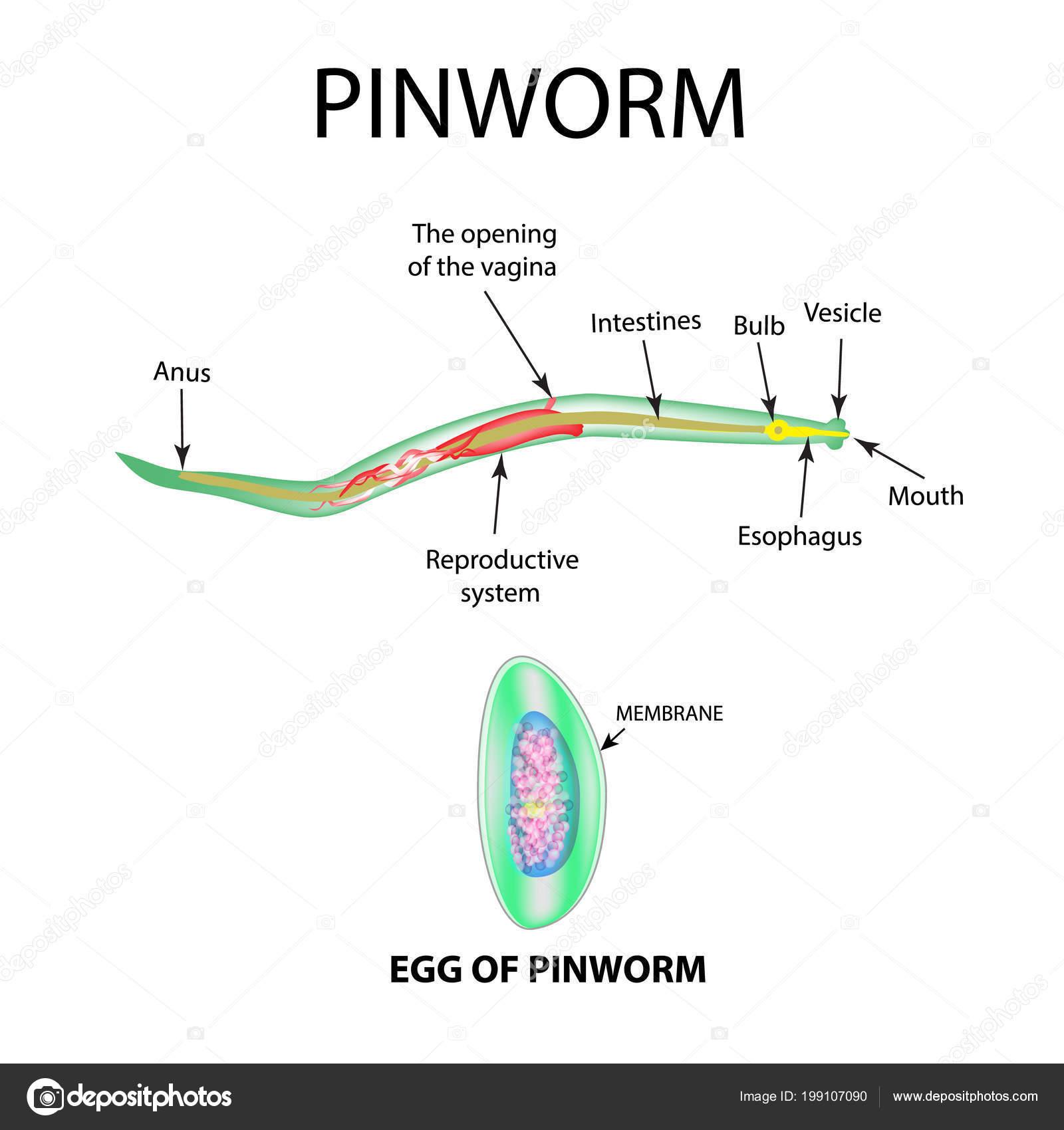 pinworm fejlesztési ciklus diagram