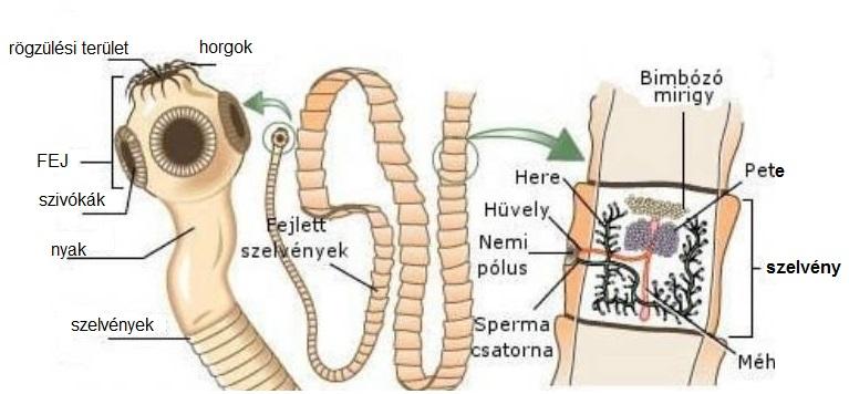 pinworm emberekben tünetek ellenőrizzék a parazitákat
