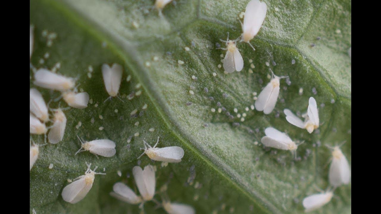 Pinworms a hüvelyben tünetei - A pinworms émelygést okozhat