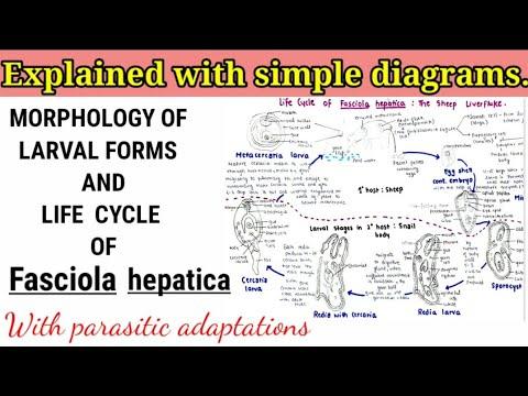 helminthiasis kezelési szabvány olcsó gyógyszerek a helminták számára