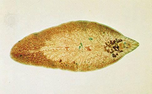 az összes hús fascioliasisát fojtogatja a parazitákat