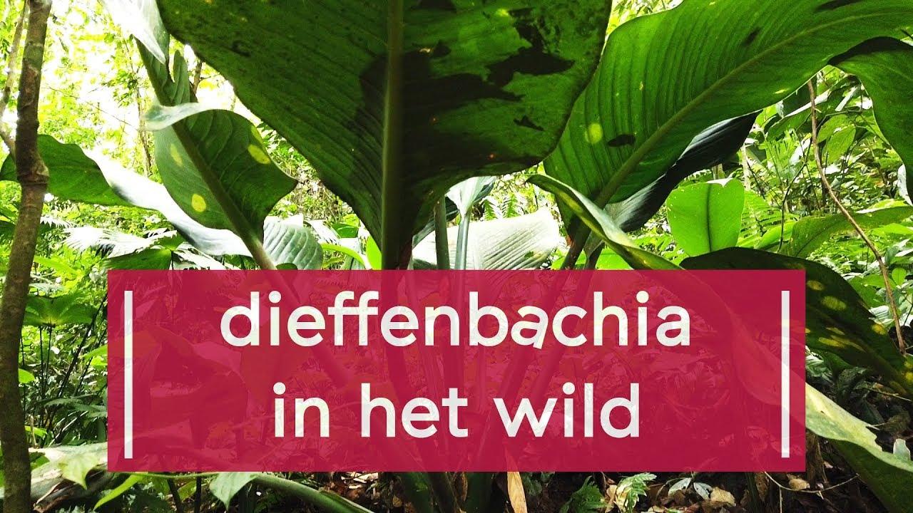 Dieffenbachia és parazitái