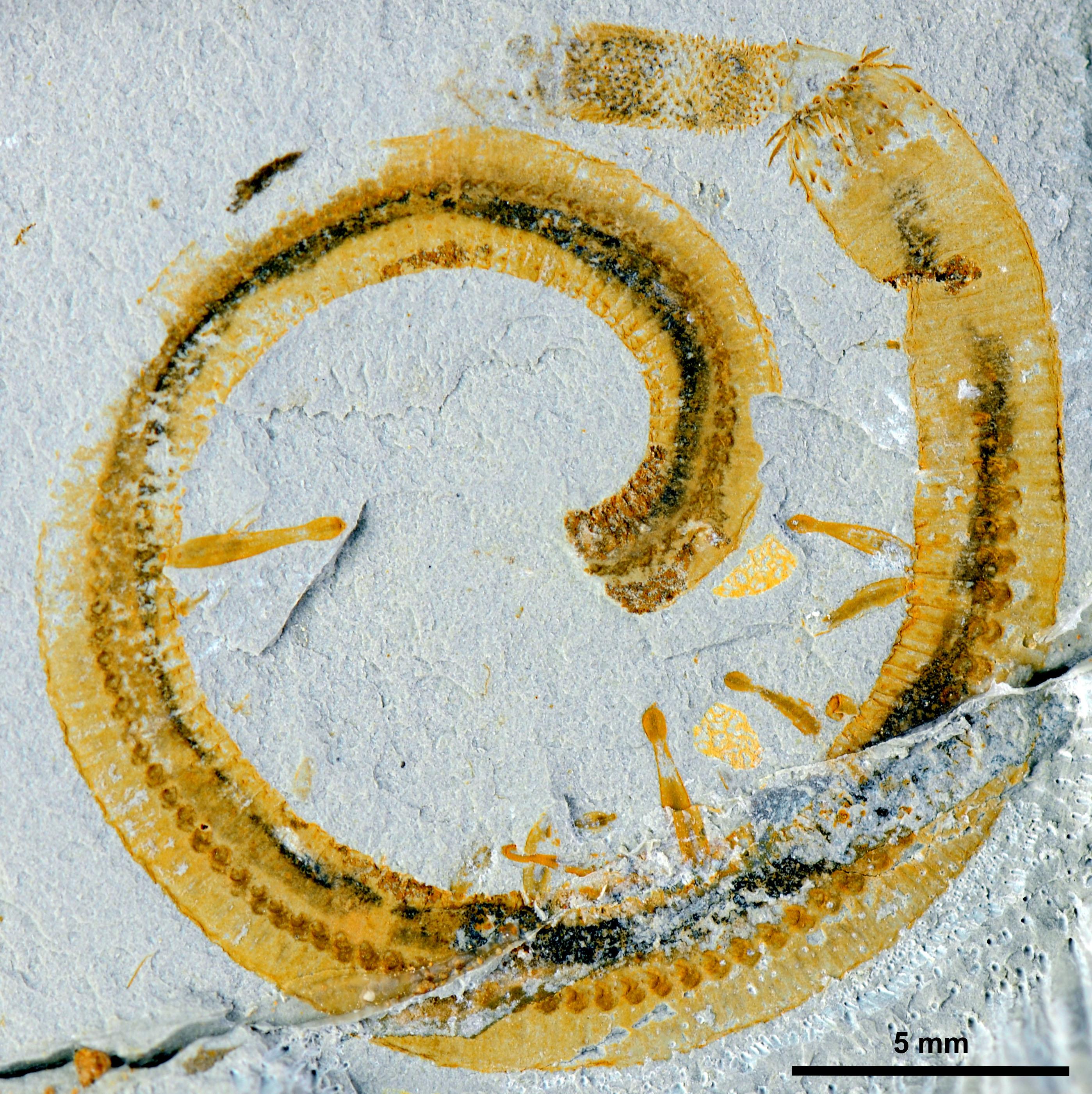paraziták tollpárnákban vízparazita az arcon