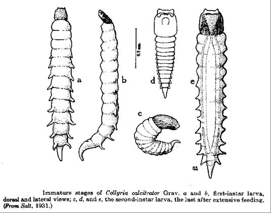 darázslárva saprotroph vagy parazita