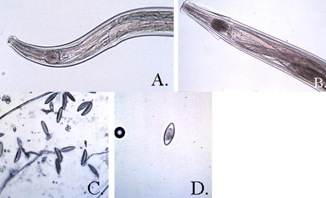 pinworms kikerül a szamárból