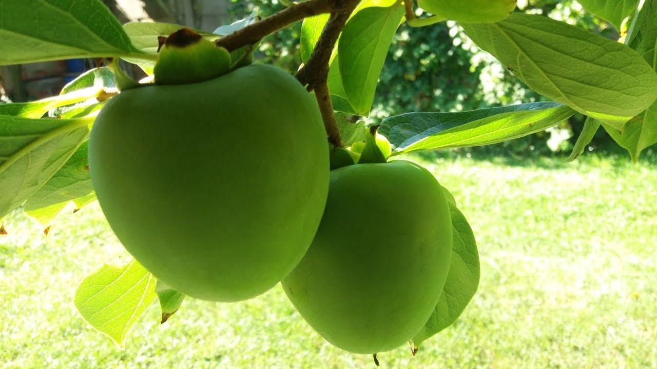 Gyümölcs giardiasisban, Giardiasis tünetei és kezelése
