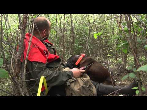 hogyan hozhat ki egy bika galandférget