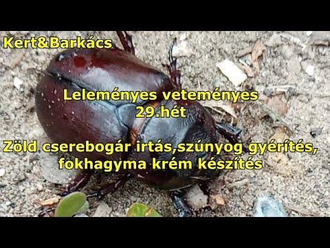 márna bogár paraziták helmintojás ascaris tojás