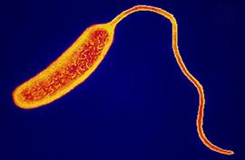 saprotrofák paraziták Vibrio cholerae az összes parazita rendszertana