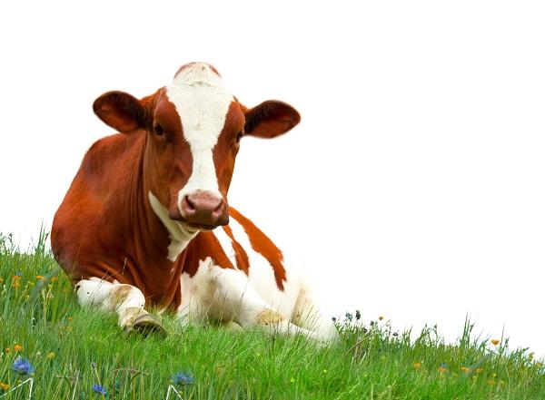 Féreg szarvasmarha szalagféreg tünetei. Galandférgek